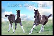 lancers royal pearl